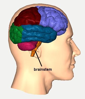 brainstem11